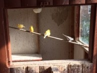 canaries at Newholme House