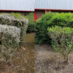 Essex Pest Control - Brown Tailed Moth Caterpillar webbing