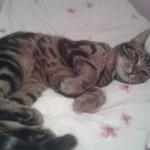 missing cat zack